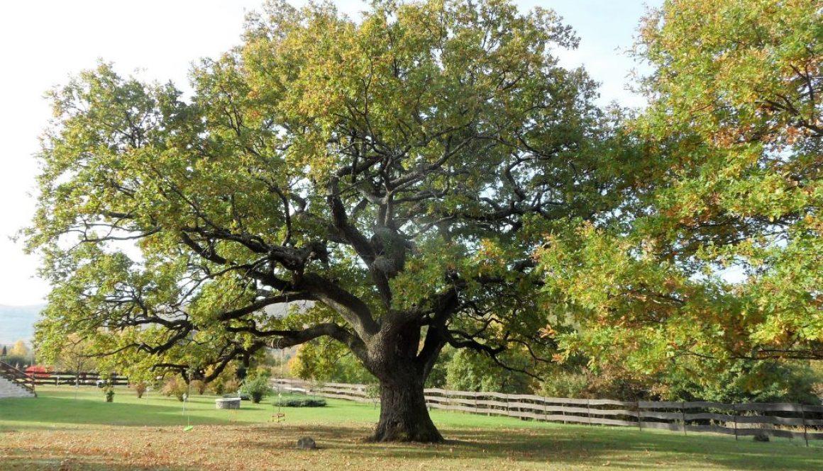 További zempléni fák.