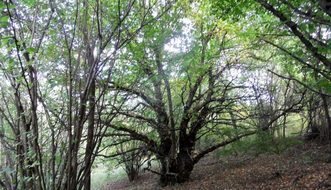 Tokaji berkenyék és más fák.
